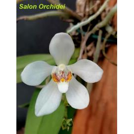 Sarcochilus falcatus (FS)