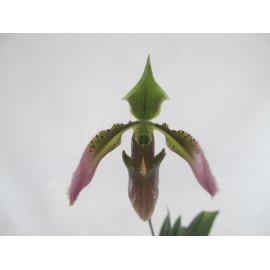 Paphiopedilum appletonianum...
