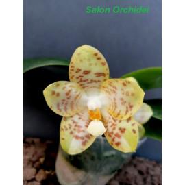 Phalaenopsis gigantea alba...