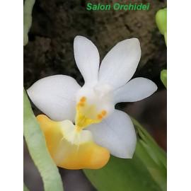 Phalaenopsis parishii f....