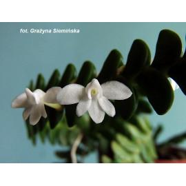 Angraecum distichum (FS)