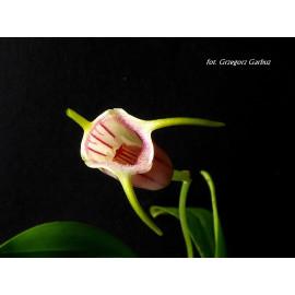 Masdevallia lineolata (FS)