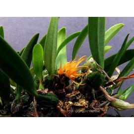 Bulbophyllum sutepense (FS)