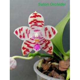 Phalaenopsis ((micholitzii...