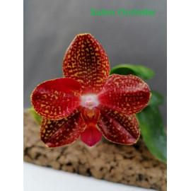 Phalaenopsis Golden Sun x...