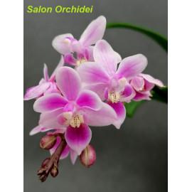 Phalaenopsis equestris Pink...