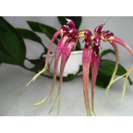 Bulbophyllum delitencens (FS)
