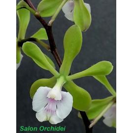Epidendrum floribundum (FS)