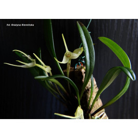 Masdevallia lilacina (FS)
