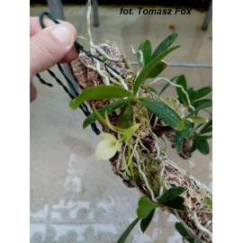 Ambrella longituba (FS)