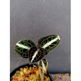 Anoectochilus leyli (dark...