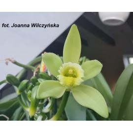 Vanilla planifolia (NFS)