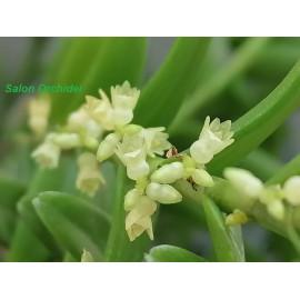 Appendicula (Epidendrum)...