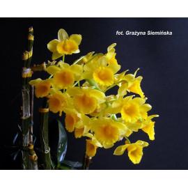 Dendrobium densiflorum (NFS)