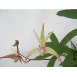 Dendrobium Ku-Ring-Gai (FS)