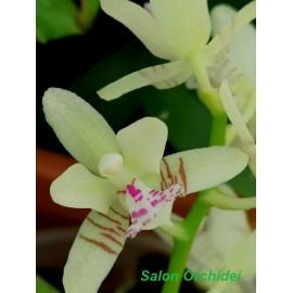 Sedirea japonica 4N (NFS)