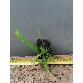 Lockhartia serra (FS)