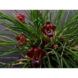 Maxillaria vernicosa (FS)