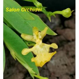 Oncidium pusillum (Erycina...