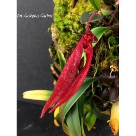 Bulbophyllum nipondhii (FS)
