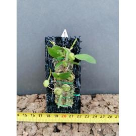 Bulbophyllum physometrum (FS)