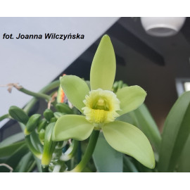 Vanilla planifolia...