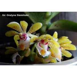 Gastrochilus dasypogon (FS)