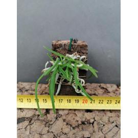 Holcoglossum flavescens (FS)