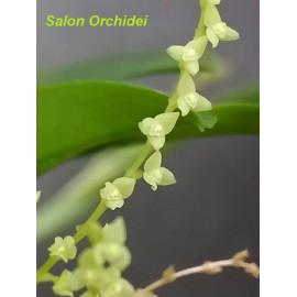 Pleurothallis microphylla (FS)