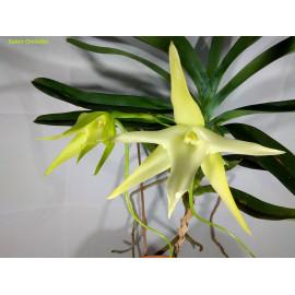 Angraecum bosseri (FS)