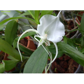 Angraecum germinyanum (FS)