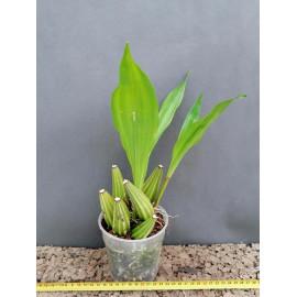 Coryanthes boyi (FS)