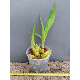 Coryanthes alborosea (FS)