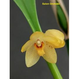 Octomeria grandiflora (FS)