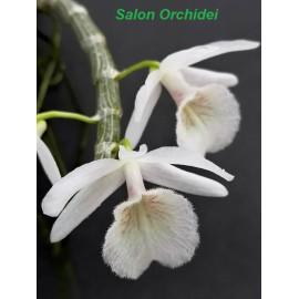 Dendrobium cretaceum (FS)