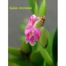 Dendrobium rosellum (FS)