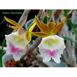 Galeandra biloba (FS)