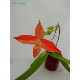 Phragmipedium besseae (FS)