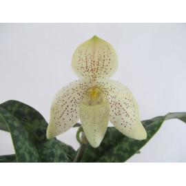 Paphiopedilum concolor (FS)