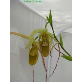 Phragmipedium pearcei x...