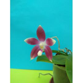 Phalaenopsis tetraspis...