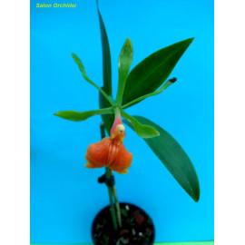 Epidendrum pseudepidendrum...