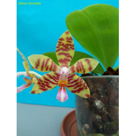 Phalaenopsis fasciata (FS)