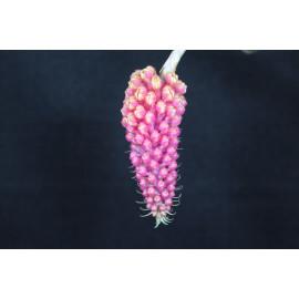 Robiquetia cerina (FS)