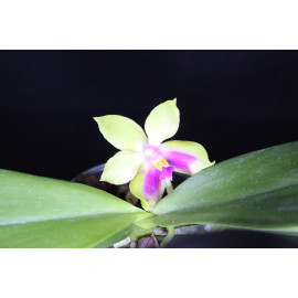 Phalaenopsis Chielung Happy...