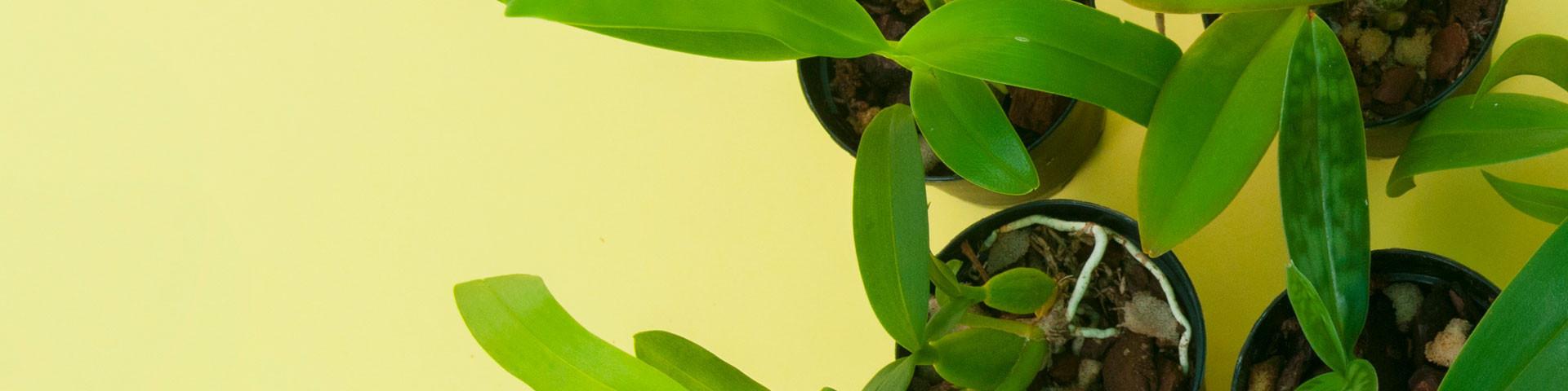 Orchid seedlings
